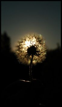 Dandelion by sunset By Marthep by MagicRealm