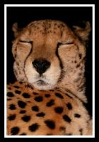 Sleepy Cheetah by Ubhejane