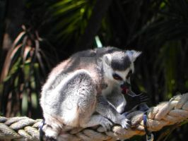 Bath time for a Lemur by Passion-For-Pictures