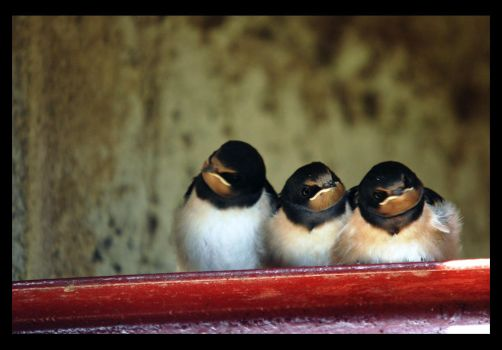 Swallows II by mikeb79