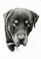 Rottweiler portrait by skippypoof