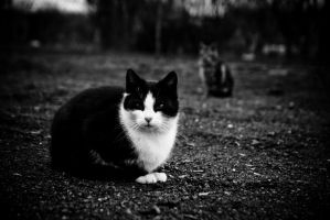 Cats by kudlatykocur
