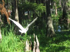 Great white heron 08 by CotyStock