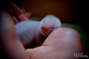 Baby Ferret by klakier666