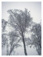 Winter: Birchtree by LadybirdM