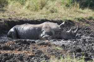 Rhino in the Mud by krazy3