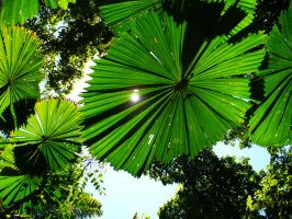 Umbrella Palms, Cape Trib. by Tiberius47