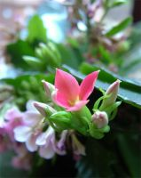 Standard Pink Flower Photo by NobbyWAGD