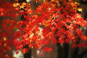 Red Leaves by Syagria