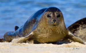 Hopping Harbor Seal by Grouper