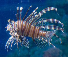 Lion Fish 1 by WhiteWing-Stock-EtAl