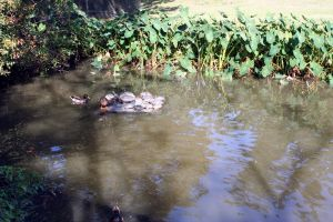 Ducks and Turtles by cynstock