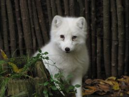 Arctic Fox 07 by animalphotos