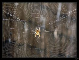 Araneus diadematus - 1 by J-Y-M