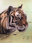 Tiger by iSaBeL-MR