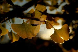Life of the Gingko by Apitdown23