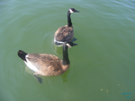 Hungry Geese by Joyberry
