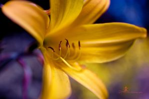 yellow lily by artistmore