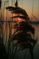 Bulrush by ikazmin
