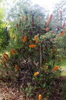 Banksia Tree by brunette-from-oz