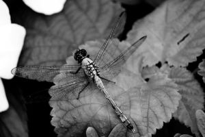 flight of the dragonfly by fotomademoiselle