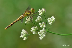 Resting dragonfly by tripping-daisy