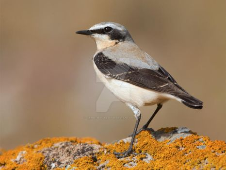 I could be in films you know - Northern Wheatear by Jamie-MacArthur