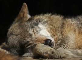 sleepy wolf... by clochartist-photo
