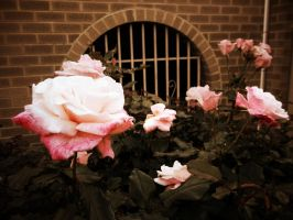 Sepia Roses by ColourChromaticism