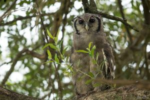 Giant Eagle-Owl (Bubo lacteus) by DaSchu