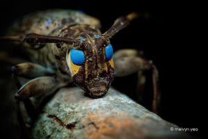 UV Fluorescence Longhorn Beetle by melvynyeo