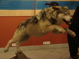 jumping wolf by Mate397
