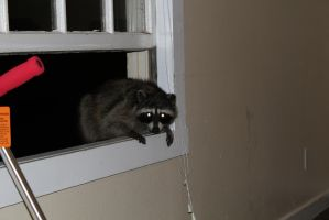 Raccoon trying to sneak in by KnightAR