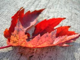 Leaf on the Pavement by Fox--Kit