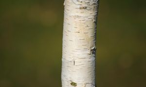 Young Birch Tree by Danimatie