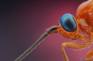 Parasitoid Wasp II by AlHabshi
