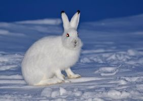 Mountain Hare VI by nordfold
