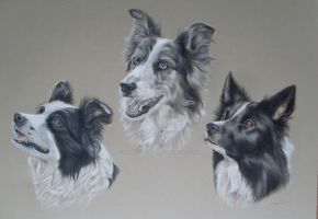 Border Collie Trio by Stephanie-Greaves