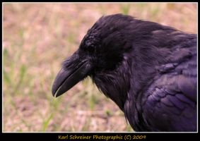Raven 3 by KSPhotographic