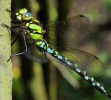 Dragonfly 8 by Forestina-Fotos