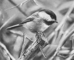 Black-Capped Chickadee Study by denismayerjr