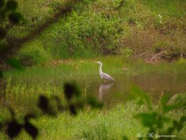 Heron Stalking by D1scipl31974