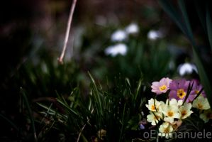 Spring flowers - Day 61 - 02/03/13 by oEmmanuele