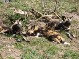 African wild dog pups by Westerfarmer
