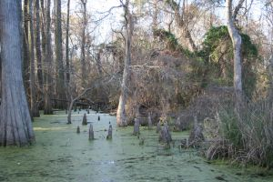 Swampy Cypress 09 by goodiebagstock