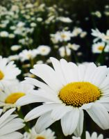 Daisy Patch by Photomarie000