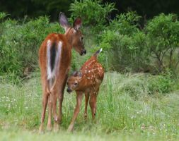 Fawn and Mom by tidesend