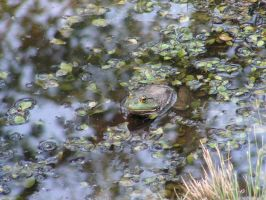 Bull Frog by photowizard