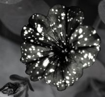 Petunia Night Sky In Black And White by Forestina-Fotos