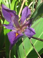 violet iris 02 by CotyStock
